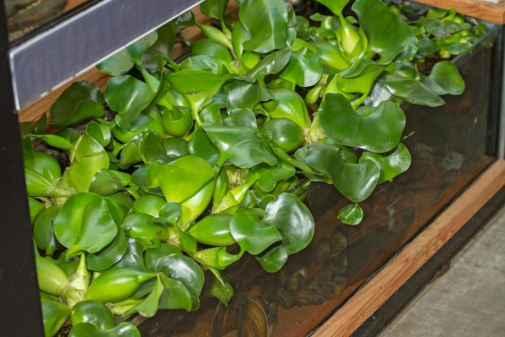 Schwimmpflanzen f r den gartenteich burdas tierwelt for Gartenteich aquarium