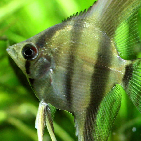 suesswasserfisch-03-neu