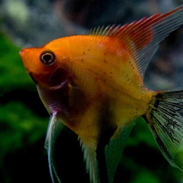 suesswasserfisch-04