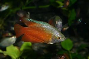 Roter Zwergfadenfisch