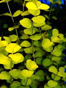 Gelbes Pfennigblatt
